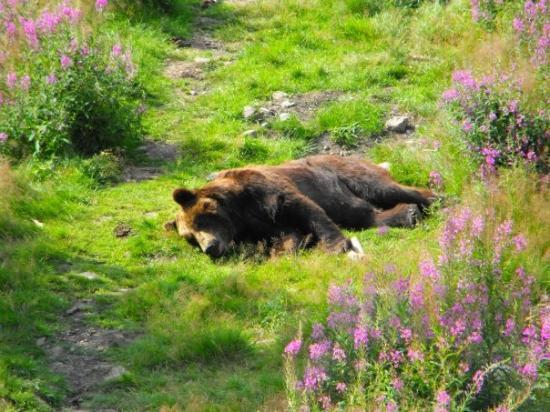 Kamtjatka Bear at Orsa Bear Park