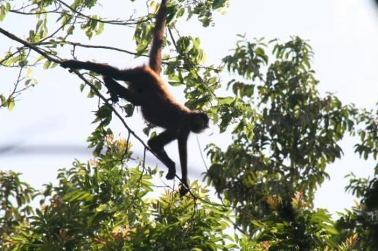 Corcovado National Park, Costa Rica: Spider monkey