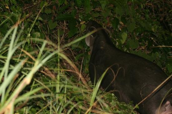 Corcovado National Park, كوستاريكا: Baird's Tapir