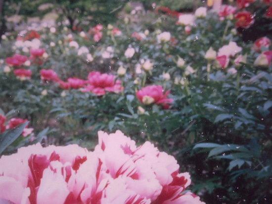 Hase Peony Garden