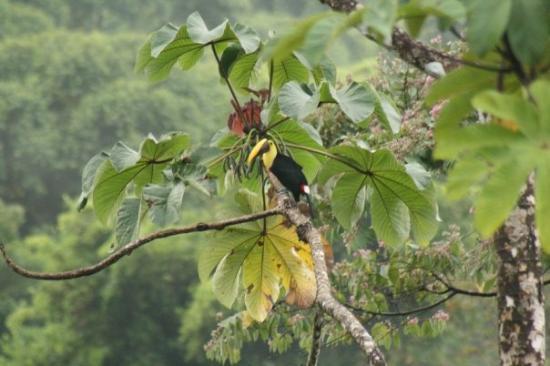 Drake Bay, Kostaryka: Toucan