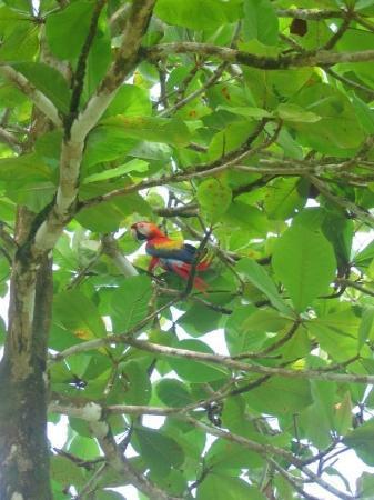 Drake Bay, Kostaryka: Scarlet macaw