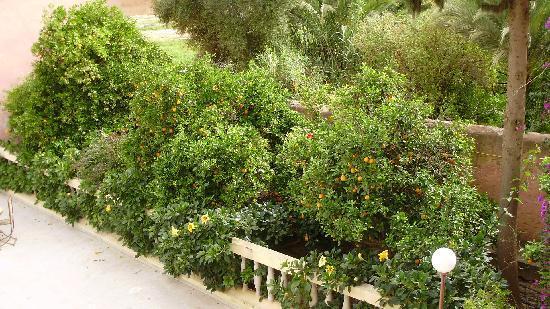 Tiout, Marokko: les orangers devant la terrasse