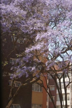 Pretoria, Güney Afrika: Byen Petoria  har 70 000 Jacaranda træer som springer ud i oktober med lilla blomster...smukt...