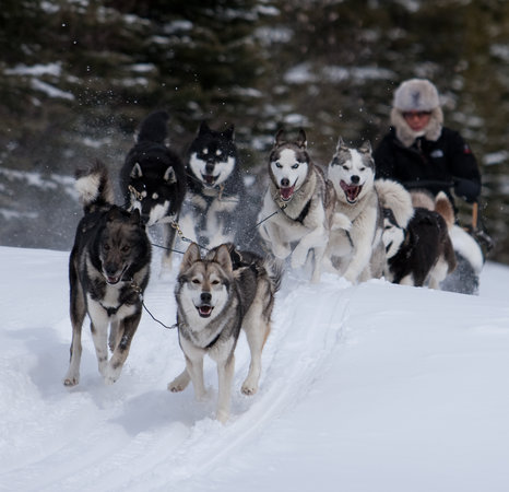 Snowy Owl Sled Dog Tours: Harness Your Dreams!