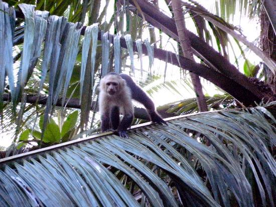 Sabalo Lodge: A monkey passing through the lodge grounds