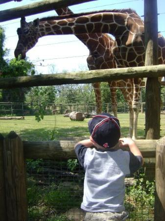 Zoo Knoxville: Cameron watching a giraffe being fed at the Knoxville Zoo.