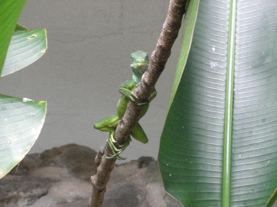 Kula Wild Adventure Park: Iguana