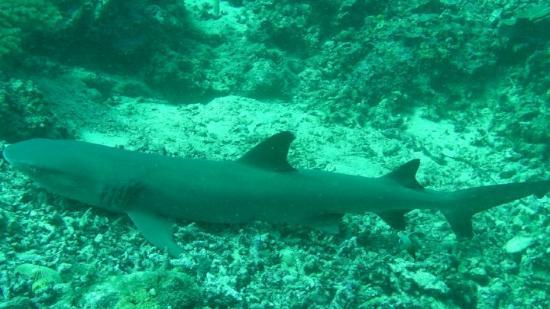 Pulau Sipadan, Malesia: White tip shark resting on the reef - off of Sipidan Island.