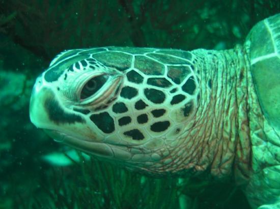Pulau Sipadan, Malaysia: gored turtle - Mabul Island, Borneo.