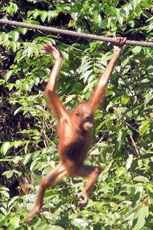 Baby Orangutan - Sepilok.