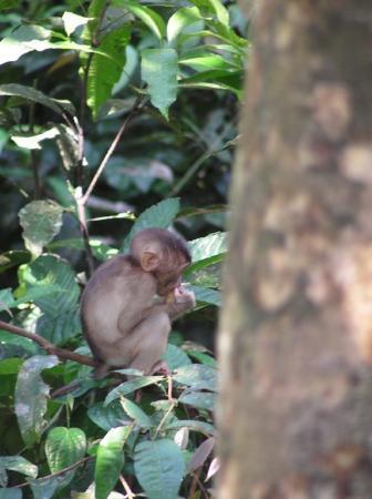 Macaque - Sepilok.