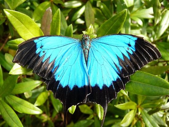 Bonville, Australie : Female Ulysses Butterfly at Coffs Butterfly House