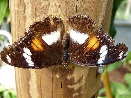 Coffs Harbour Butterfly House: Female Varied Eggfly Butterfly at Coffs Butterfly House