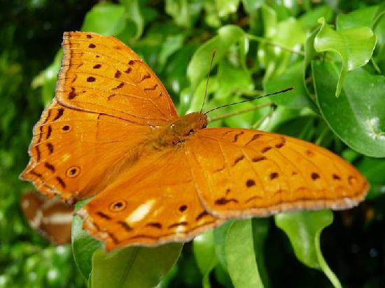 Bonville, Australia: Male Cruiser Butterfly at Coffs Butterfly House