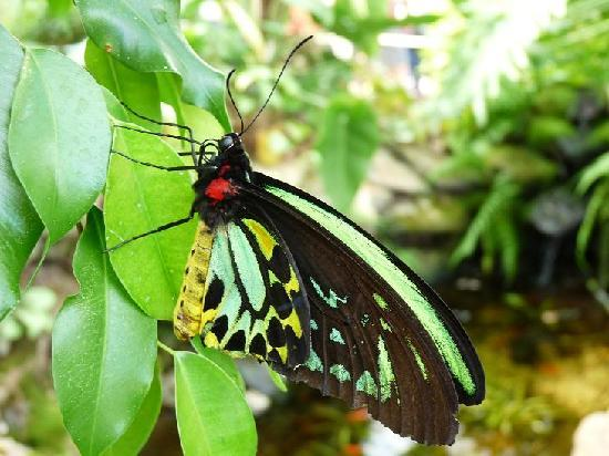 Bonville, Australië: Male Cairns Birdwing at Coffs Butterfly House