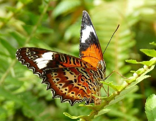 Bonville, Australia: Orange Lacewing at Coffs Butterfly House