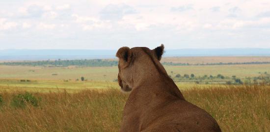 Masai Mara naturreservat, Kenya: lion looking for game
