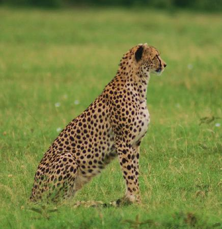 Mara Triangle: cheetah