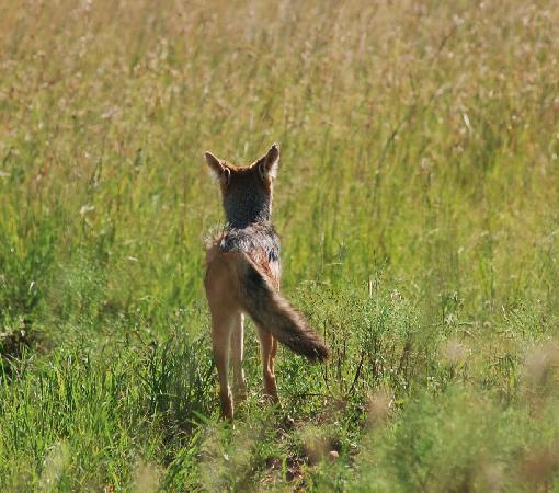 Masai Mara naturreservat, Kenya: fox