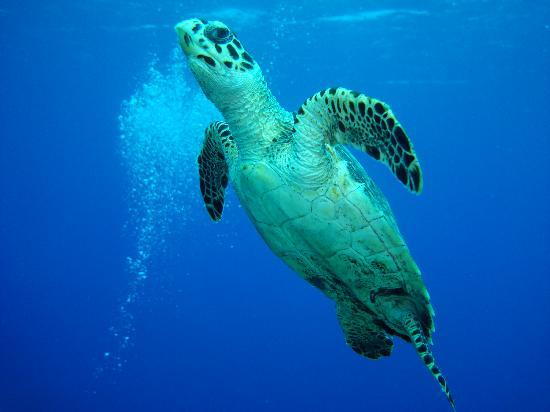 Paradise Villas: Turtle Headed for the Surface