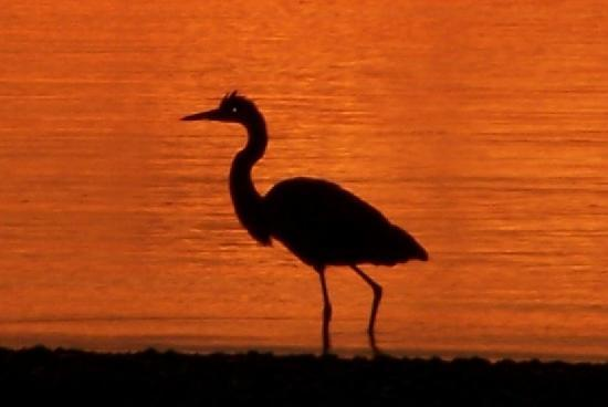 Emery's Cottages on the Shore: Great Blue sunset silhouette
