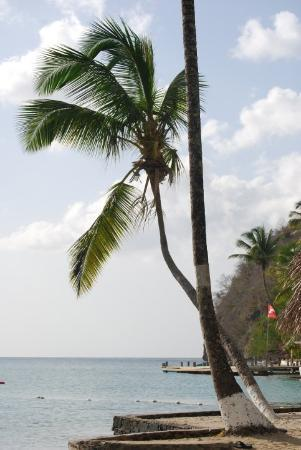 Teluk Marigot, St. Lucia: Coconut palm tree, one of many providing shade for the Marigot Bay Beach Club.