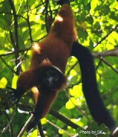 Rainforests of the Atsinanana : A Playful Red Ruffed Lemur in Masoala forest--critically endangered spieces