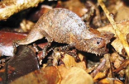Rainforests of the Atsinanana : One of the smallest chameleons in the world in Masoala National Park