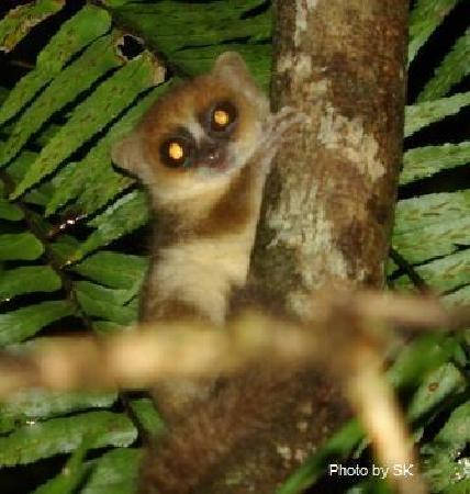 Rainforests of the Atsinanana : Rufous Mouse Lemur on Nosy Mangabe