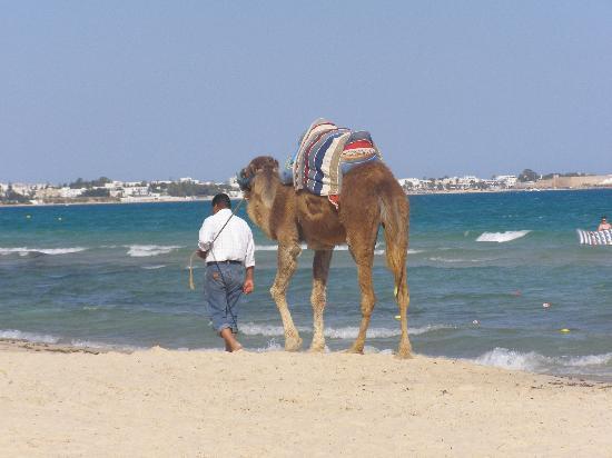 Aparthotel Royale Residence : Camel on beach