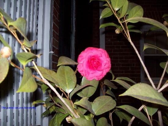 Federal Crest Inn: The camelias are blooming