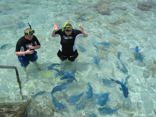 Giant Blue Parrot Fish Picture Of De Palm Island Aruba