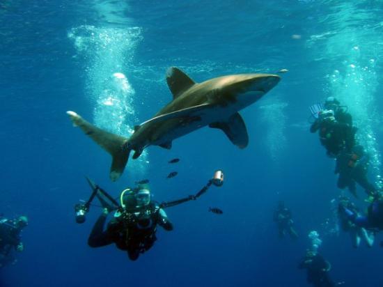 Elphinstone Reef : Weissspitzen Riffhai