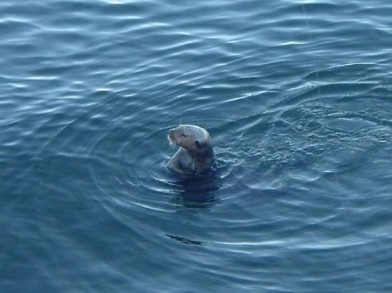 Sea Otter in Monterey Bay, CA, June 2008