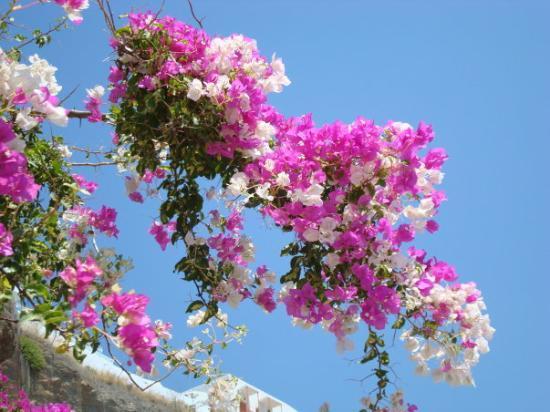 كريت, اليونان: Bloemen