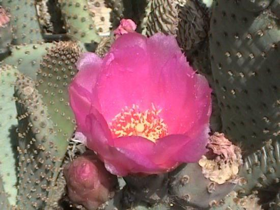 Lake Havasu City, AZ: Blooming cactus flower