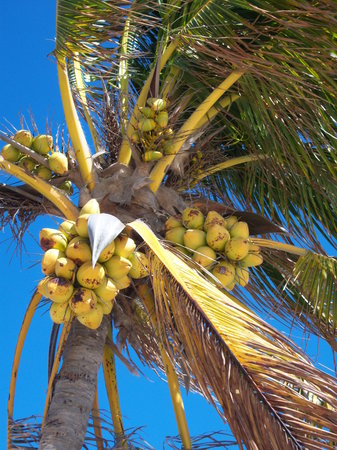 Freeport, Isla Gran Bahama: fresh coconuts for the drinks