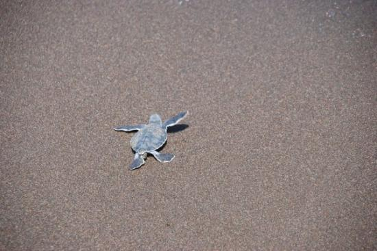 Tortuguero, Costa Rica : Jamie, the little leather back turtle crawling to the sea