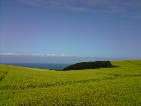 Le Capotel: champs de colza sur la cte d'opale