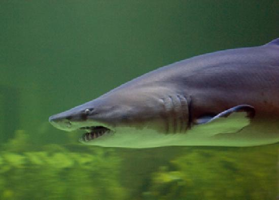 North Carolina Aquarium at Pine Knoll Shores: Sand tiger shark