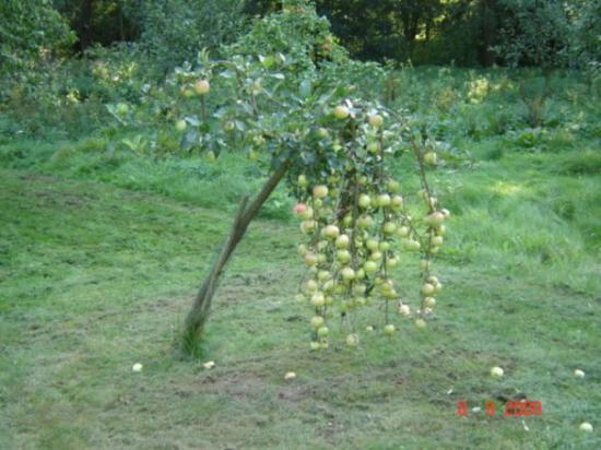 Brno, Tjeckien: more apples then the tree itself....