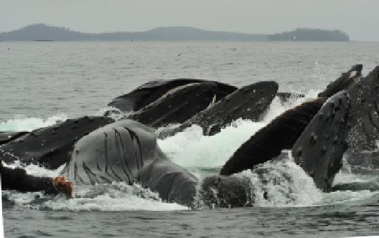 Haida Gwaii (Queen Charlotte Islands), Canada: Feeding whales