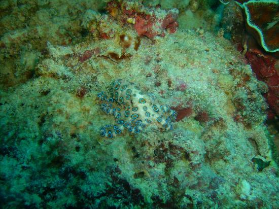 Kasai Village Dive & Spa Resort: Blue ringed octopus