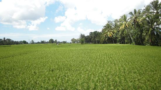Villa Puri Darma Agung: Rice field