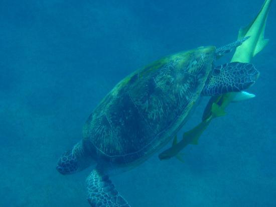 Jaz Lamaya Resort: Turtle!!!