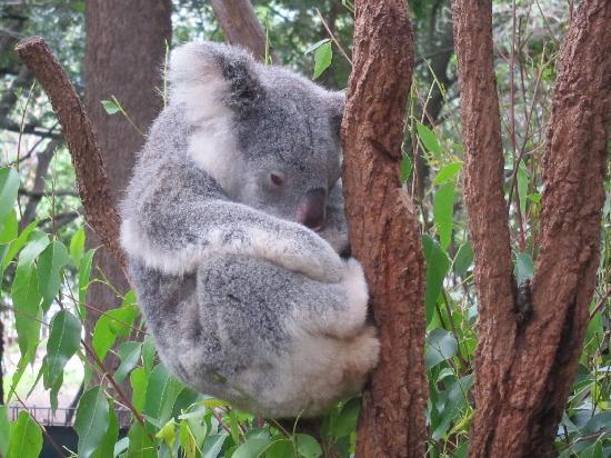 Lone Pine Koala Sanctuary: Koalas sleep 19 hrs/day