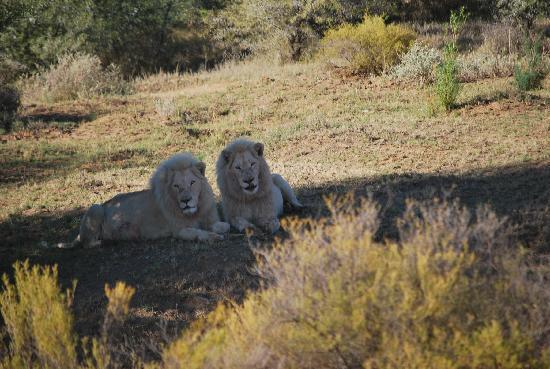 White Lion Lodge: The lions