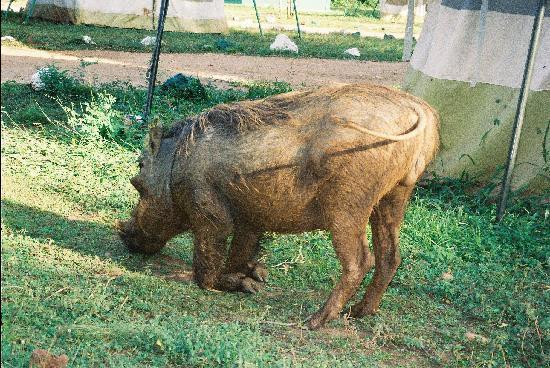 Uganda: Warthog