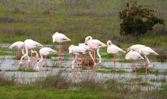 Andalusia, Spanyol: Flamingos